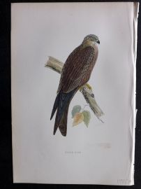 Morris 1897 Antique Hand Col Bird Print. Black Kite
